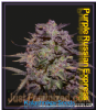 Kalashnikov Purple Russian Express Female 3 Seeds